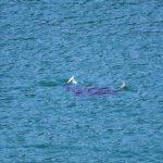 Avvistato un gigante del mare: una manta di 2 metri nuota nelle acque tra Arenzano e Cogoleto