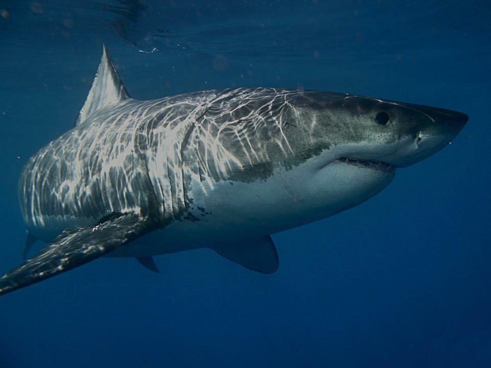 Studi sugli squali in Sud Africa