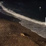 Tartaruga sulla spiaggia di Meta, sopralluogo per nidificare