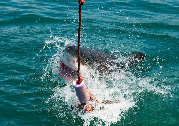 Lo squalo bianco è a rischio estinzione