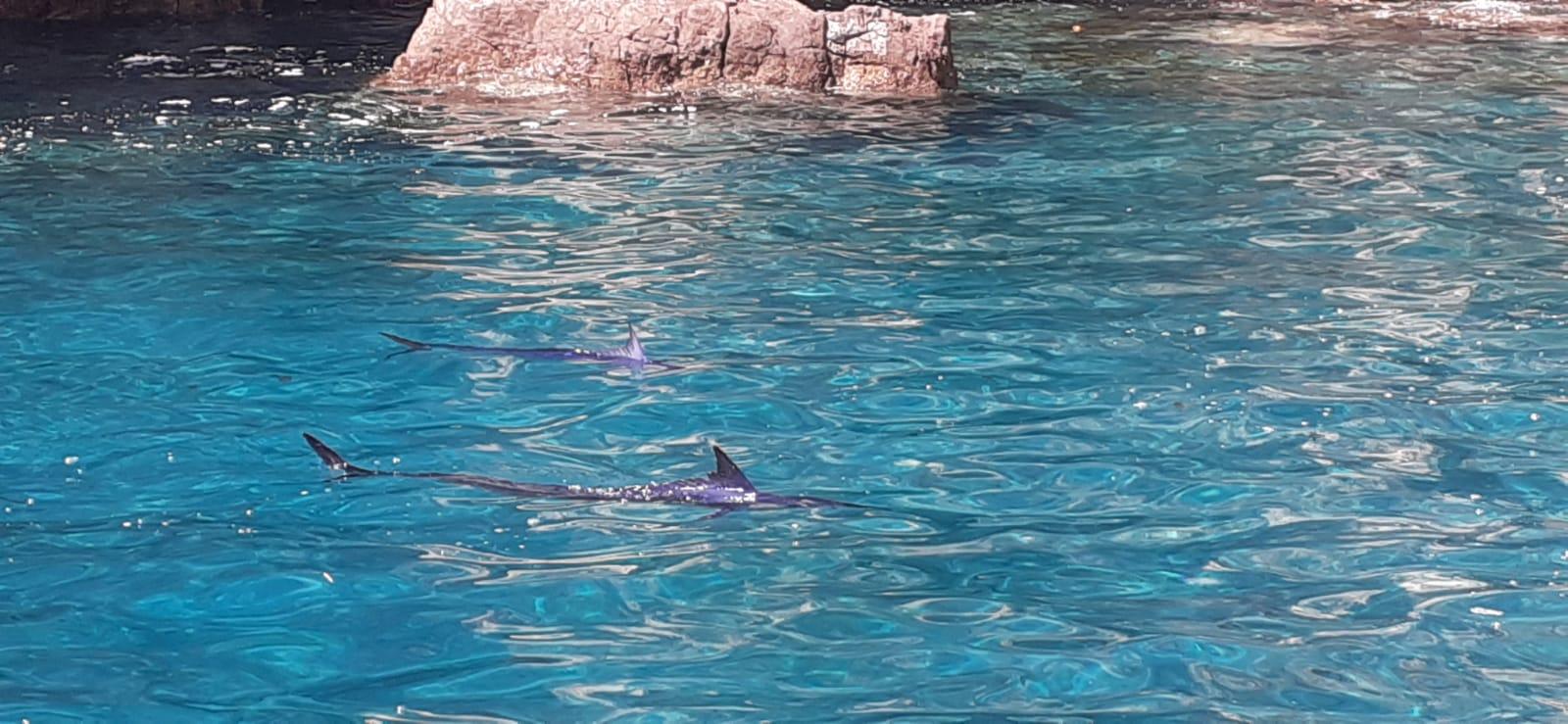 Raro avvistamento nel Parco Marino di Punta Campanella. Due aguglie imperiali